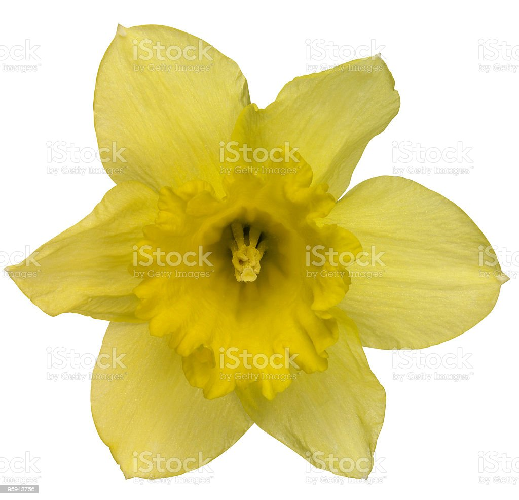 yellow daffodil flower on white royalty-free stock photo