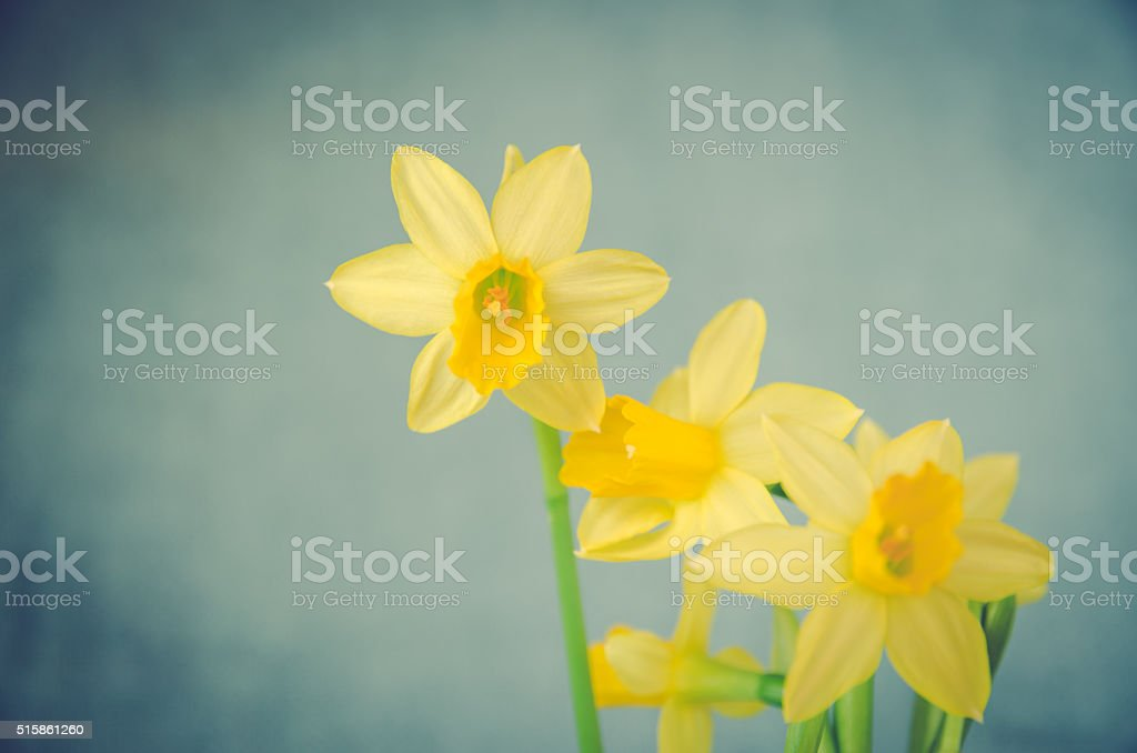 yellow daffodil flower stock photo