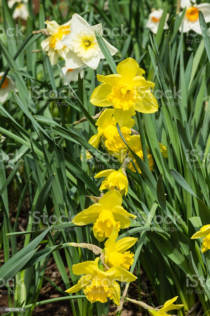 Yellow daffodil flowers in bloom stock photo