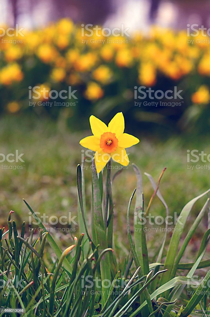 Yellow daffodil in spring in sunlight stock photo