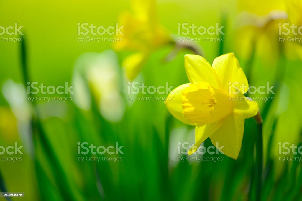 yellow daffodil in the garden stock photo