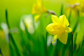 yellow daffodil in the garden