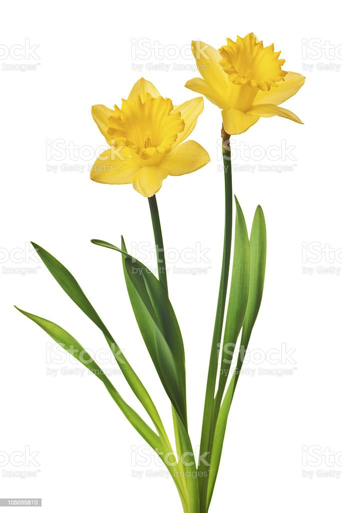 yellow daffodil isolated stock photo