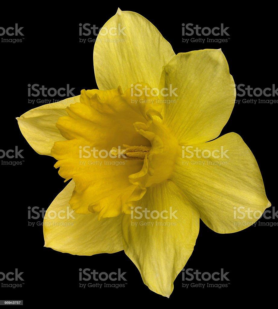 yellow daffodil on black royalty-free stock photo