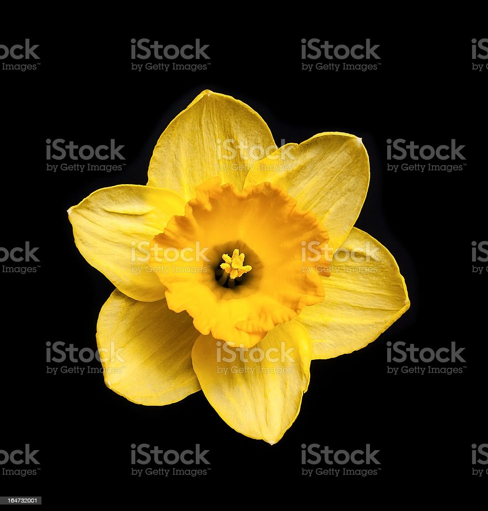 Yellow daffodil royalty-free stock photo