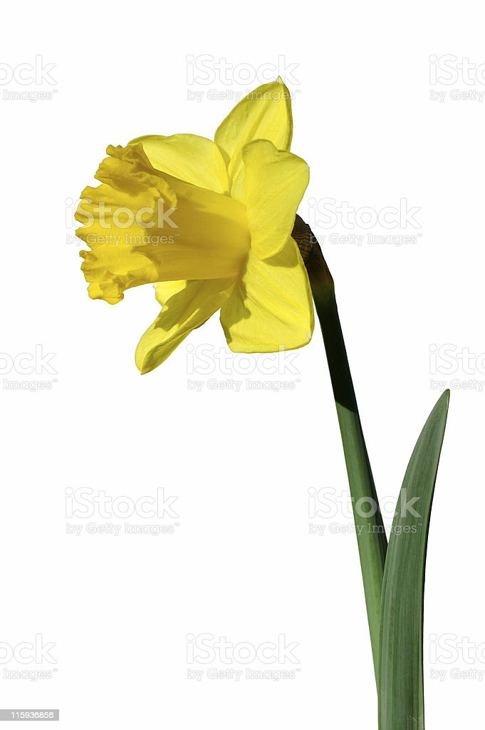 yellow daffodil with clipping path royalty-free stock photo