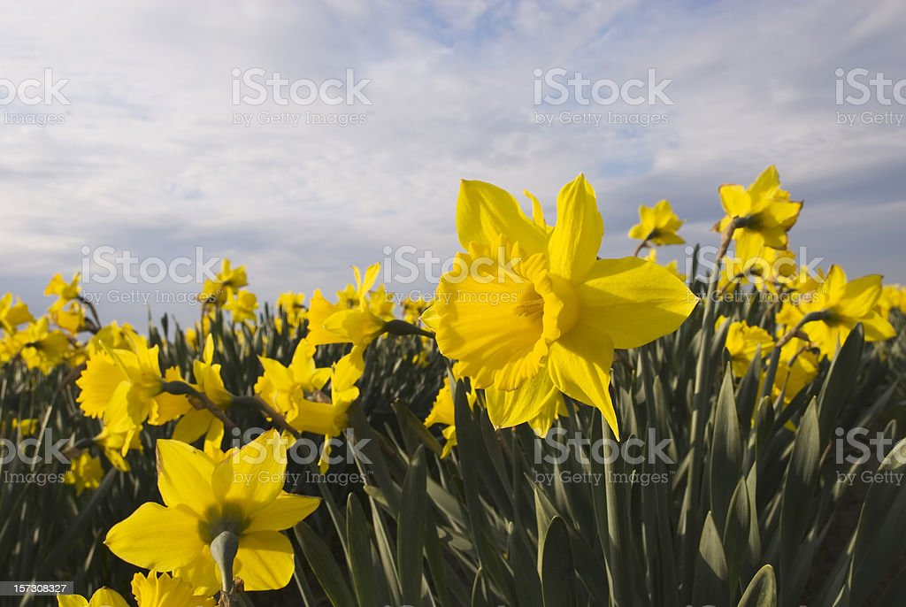 Yellow daffodils - I royalty-free stock photo