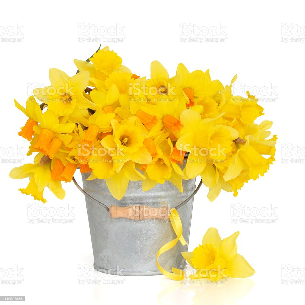 Yellow daffodils in a metal bucket on a white background stock photo