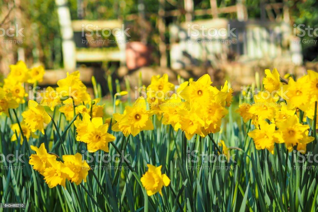 Yellow daffodils in the garden stock photo