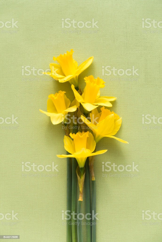 Yellow Daffodils on a green textured background stock photo
