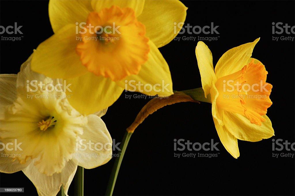 yellow daffodils on black royalty-free stock photo