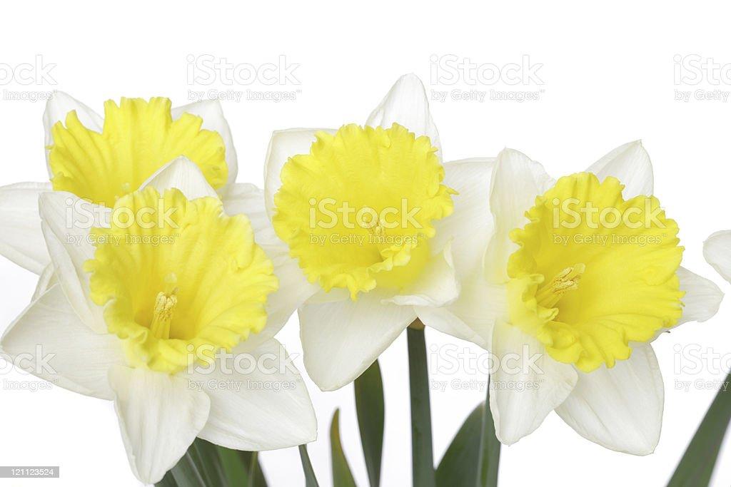 Yellow Daffodils on white royalty-free stock photo