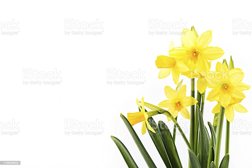 Yellow daffodils stock photo