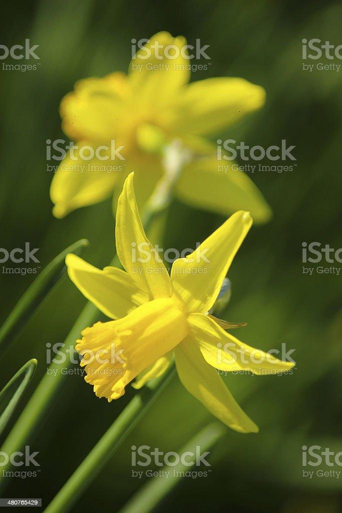 Giallo daffodils foto stock royalty-free