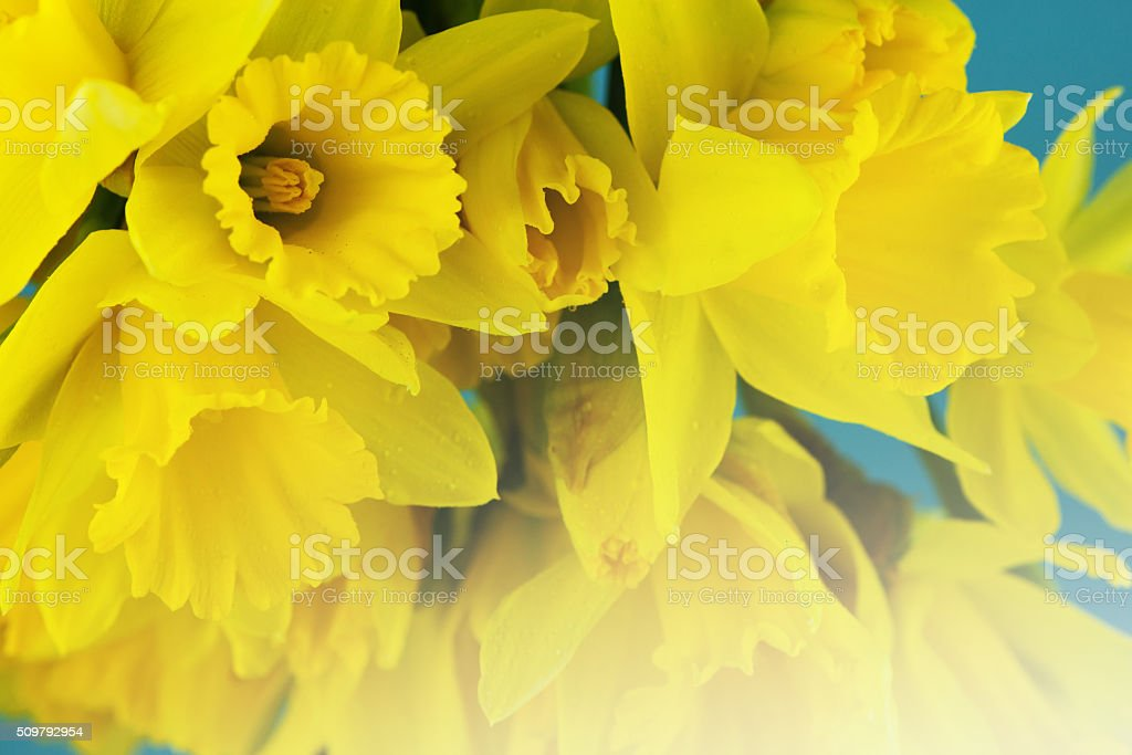 Yellow daffodils. stock photo