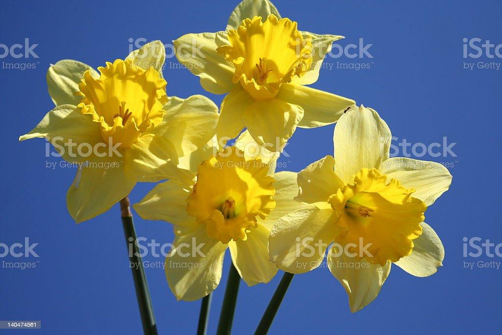 Yellow Daffodils-blue sky royalty-free stock photo