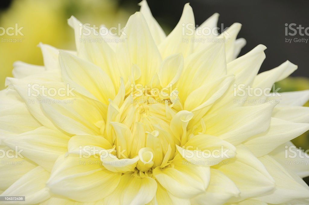 Yellow Dahlia Close-Up stock photo