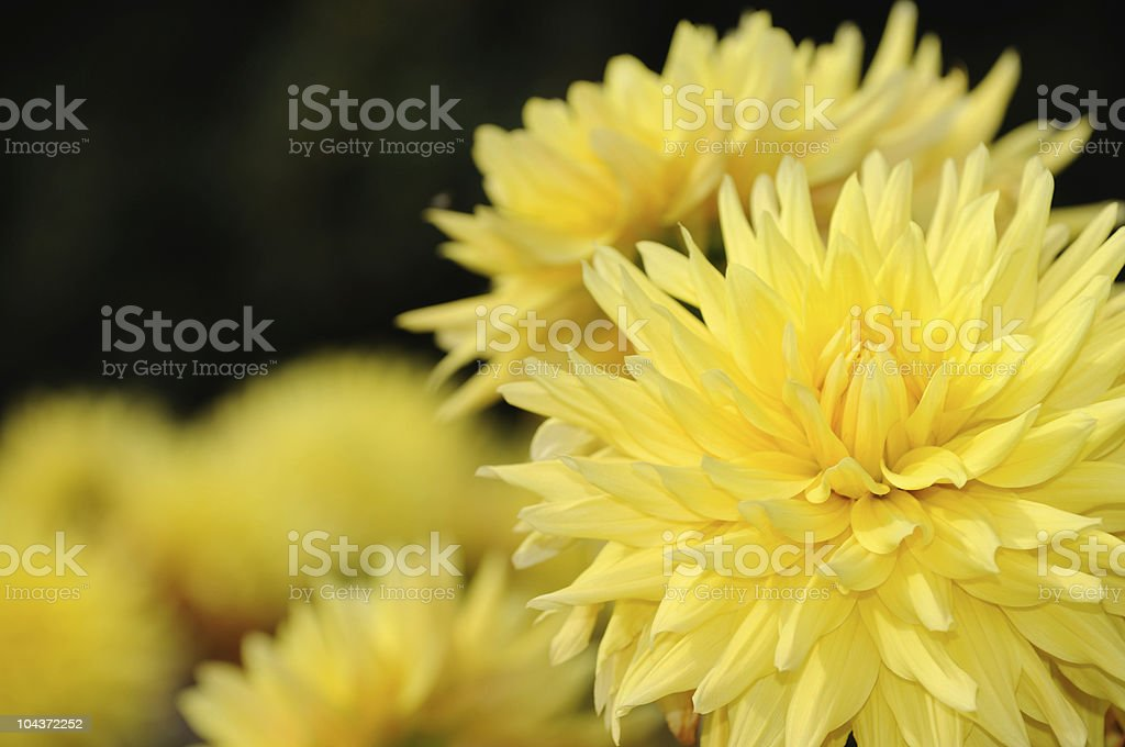 Yellow Dahlia Flowers stock photo