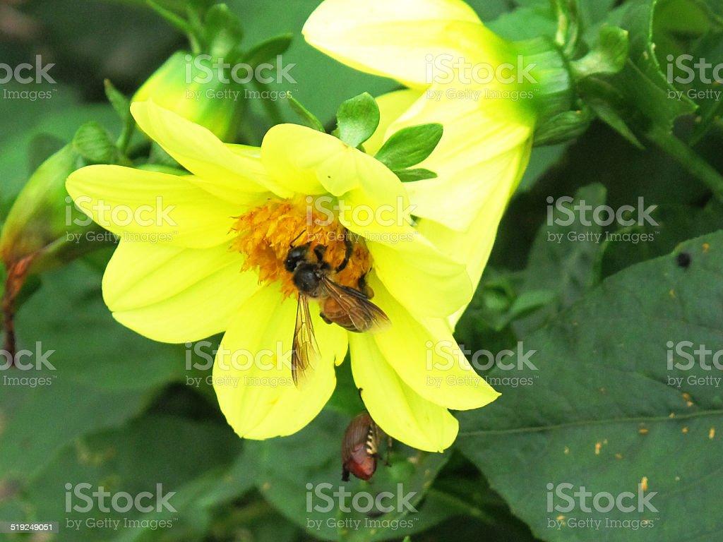 Желтый Dahlia с Голодный пчела.  / красивый цветок. Стоковые фото Стоковая фотография