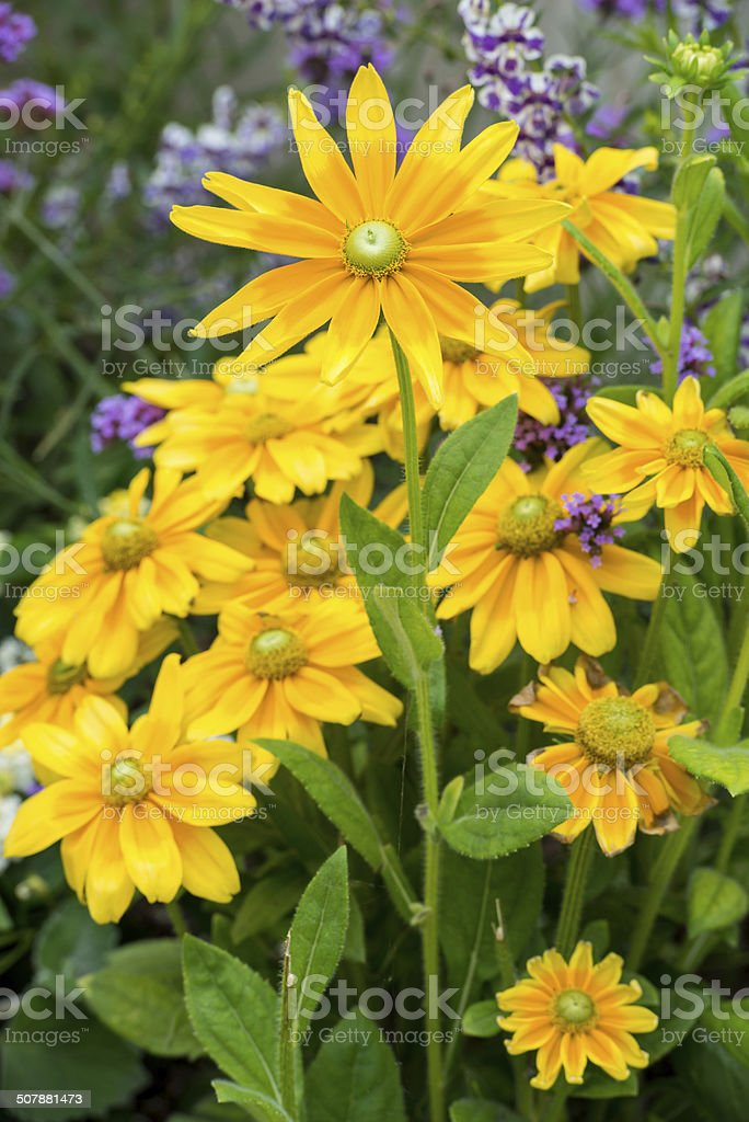 Yellow Daisies and Purple Lavender stock photo