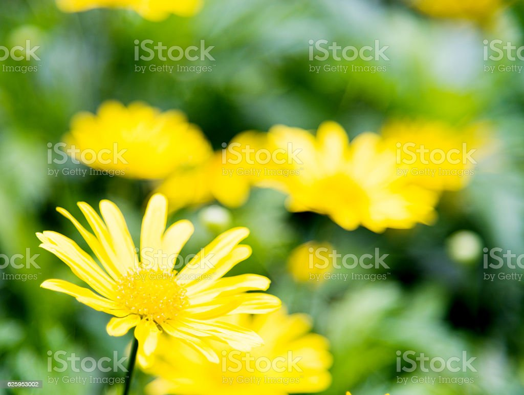Yellow daisies on summer day stock photo