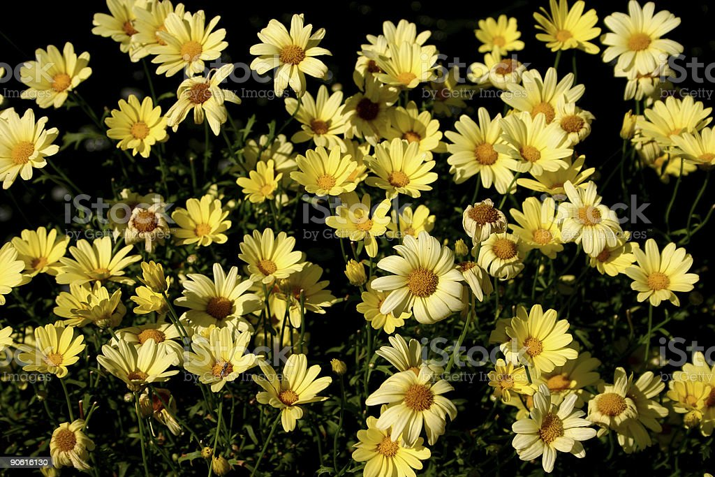 yellow daisies royalty-free stock photo
