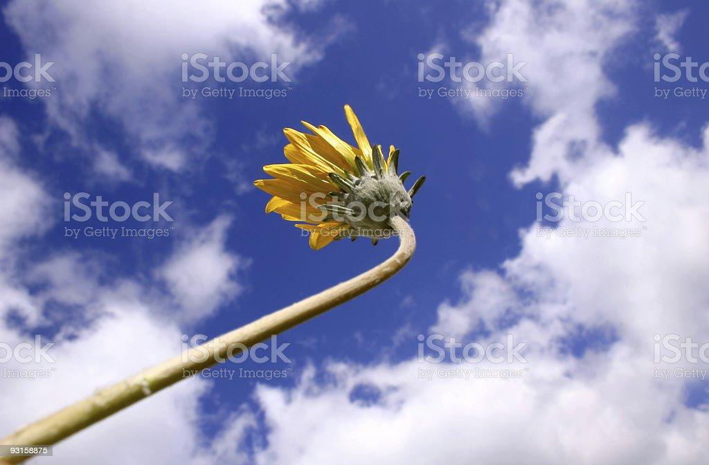 Yellow Daisy 1 royalty-free stock photo