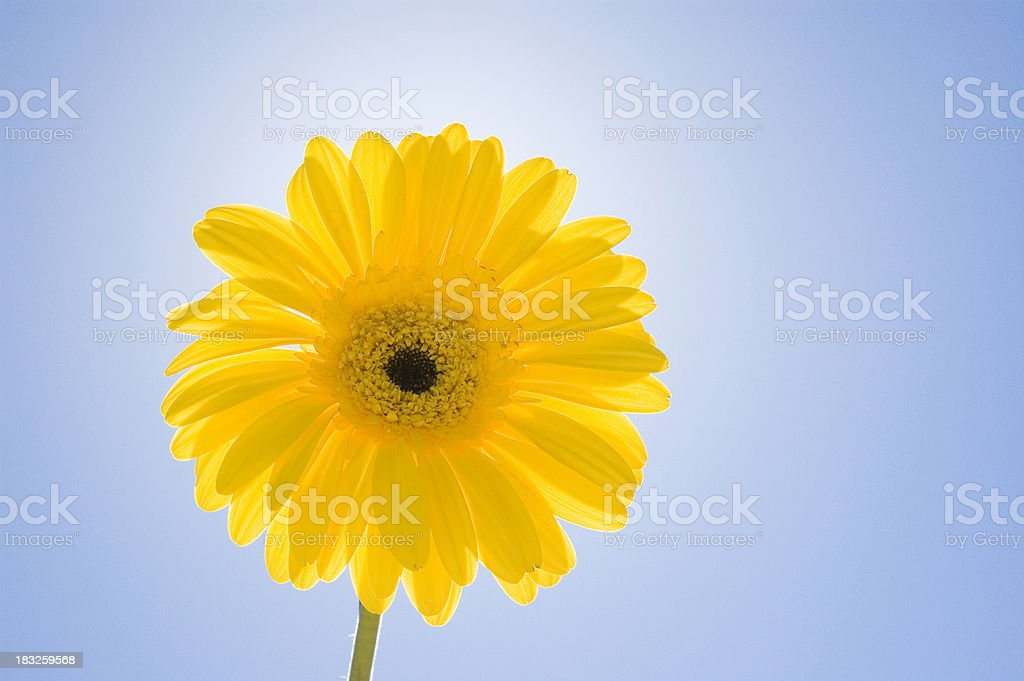 yellow daisy against blue sky royalty-free stock photo