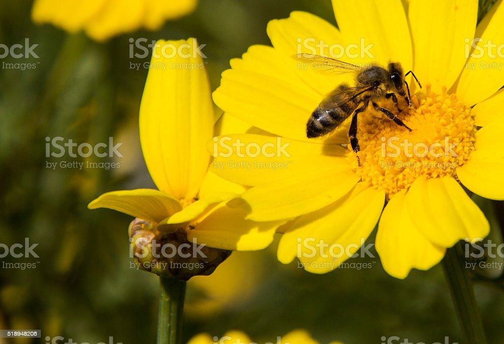 Yellow daisy and bee. stock photo