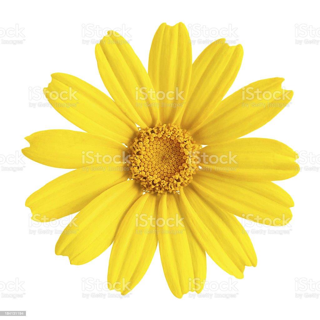 Yellow daisy close up royalty-free stock photo