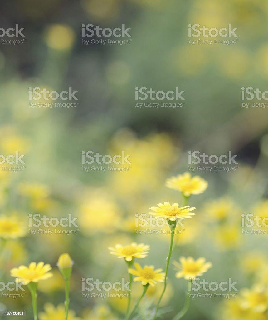 yellow daisy flower field stock photo