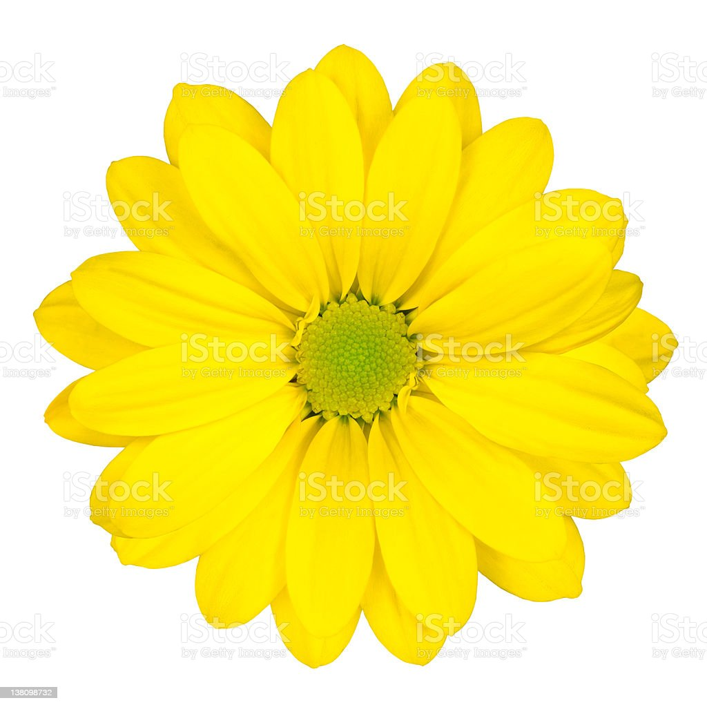 Yellow Daisy Flower with Green Center Isolated stock photo