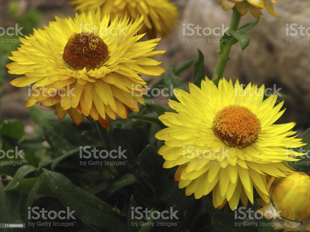 Yellow Daisy Flowers Close Up royalty-free stock photo