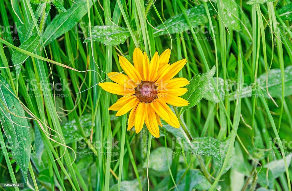 Yellow daisy flowers, green grass, gerberas  garden stock photo