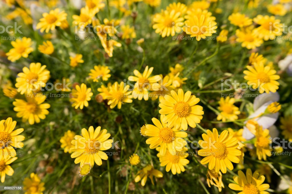 yellow daisy flowers meadow field in garden, bright day light. beautiful natural blooming daisies in spring summer. stock photo