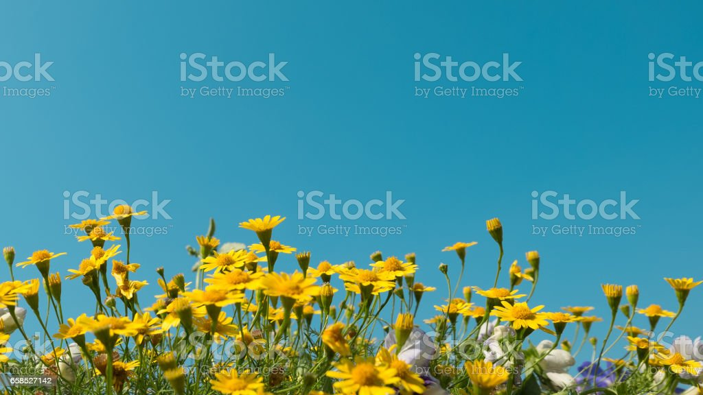 yellow daisy flowers meadow field with clear blue sky, bright day light. beautiful natural blooming daisies in spring summer. horizontal, copy space stock photo
