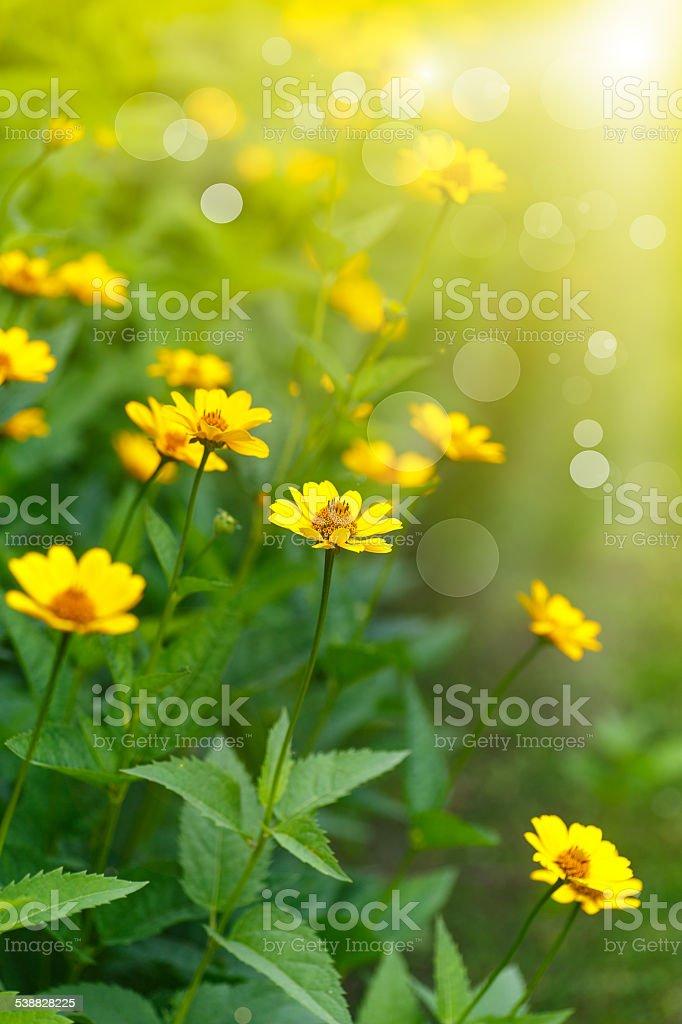 yellow daisy in the sun stock photo
