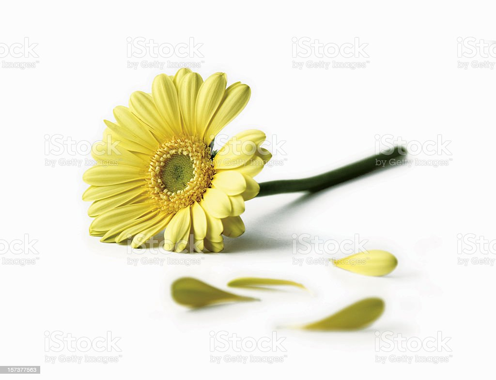 Yellow daisy stock photo