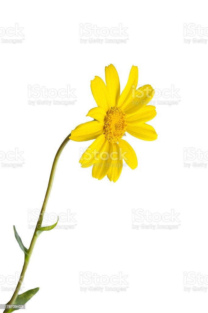 Yellow daisy (Clipping Path) stock photo