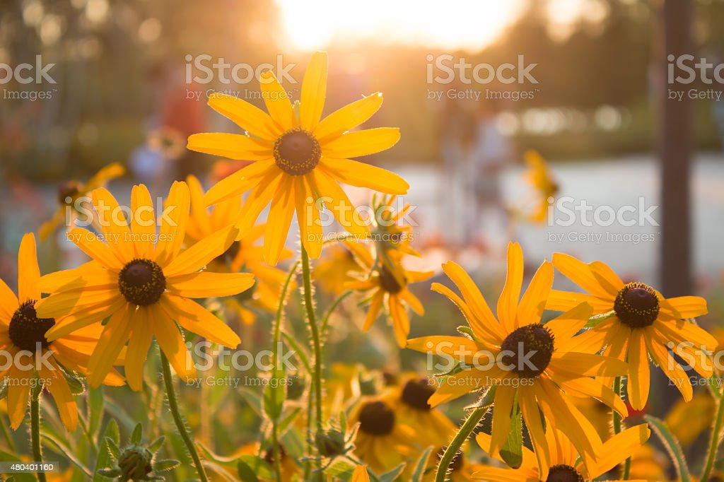 Yellow daisy stock photo