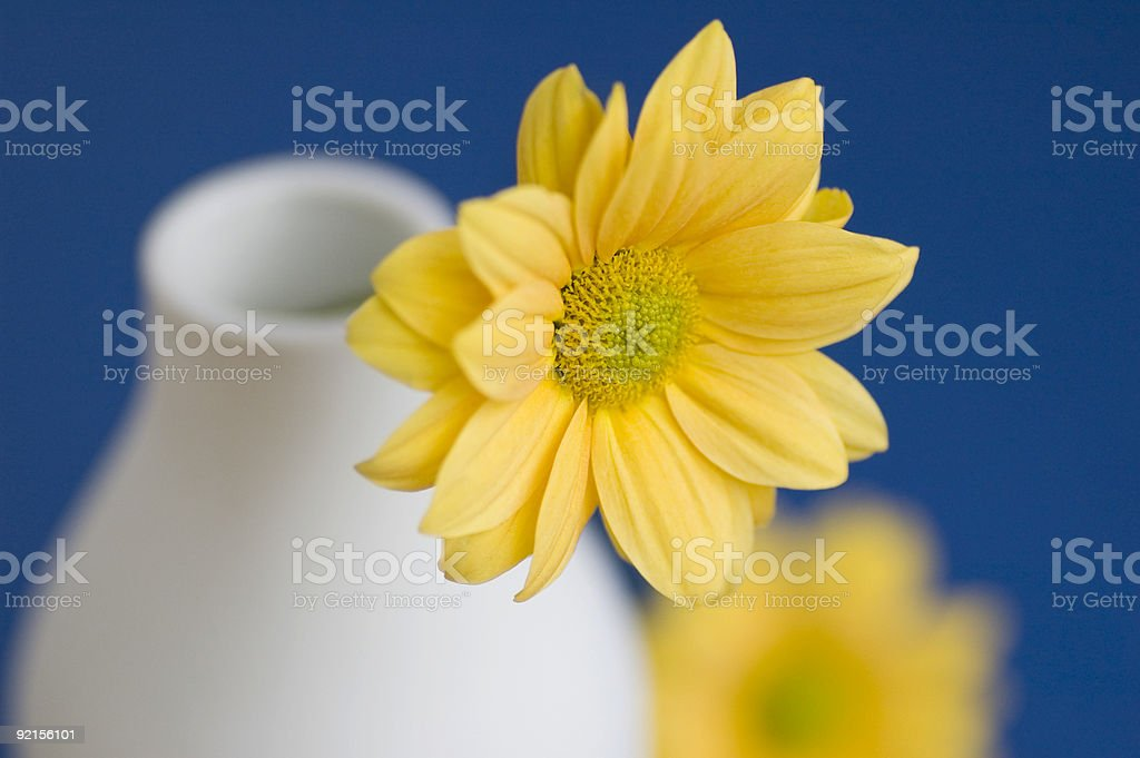Yellow daisy solid colour background royalty-free stock photo