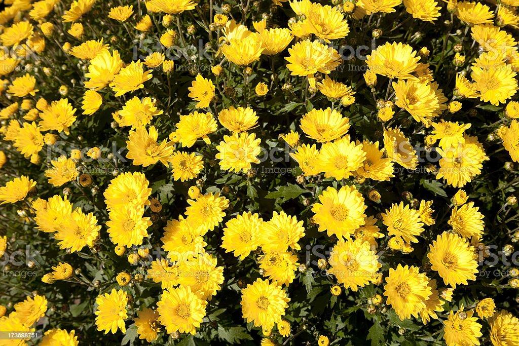 Yellow daisys royalty-free stock photo