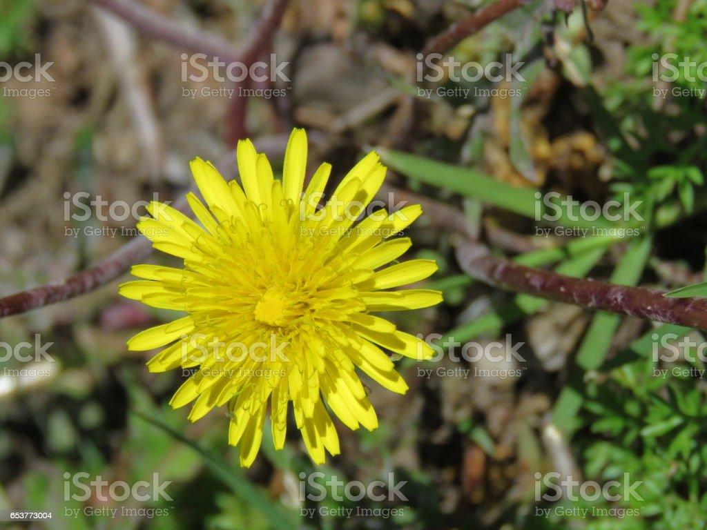 Yellow Dandelion 2 stock photo
