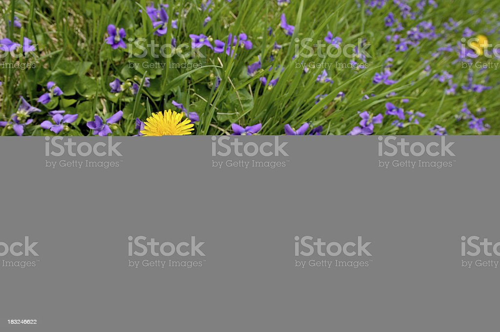 Yellow dandelion amidst purple flowers royalty-free stock photo