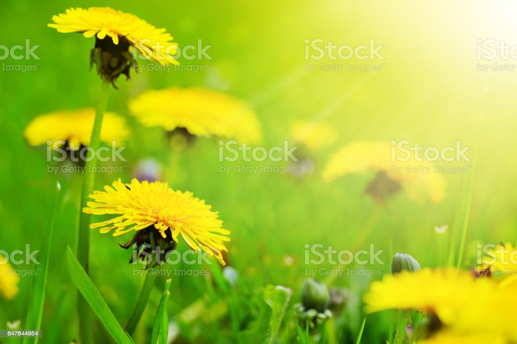 Yellow dandelion background stock photo
