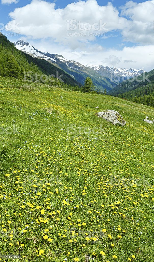 Yellow dandelion flowers on summer mountain slope royalty-free stock photo