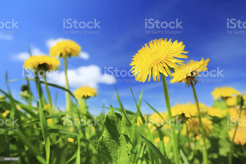 Yellow dandelion flowers - spring meadow royalty-free stock photo