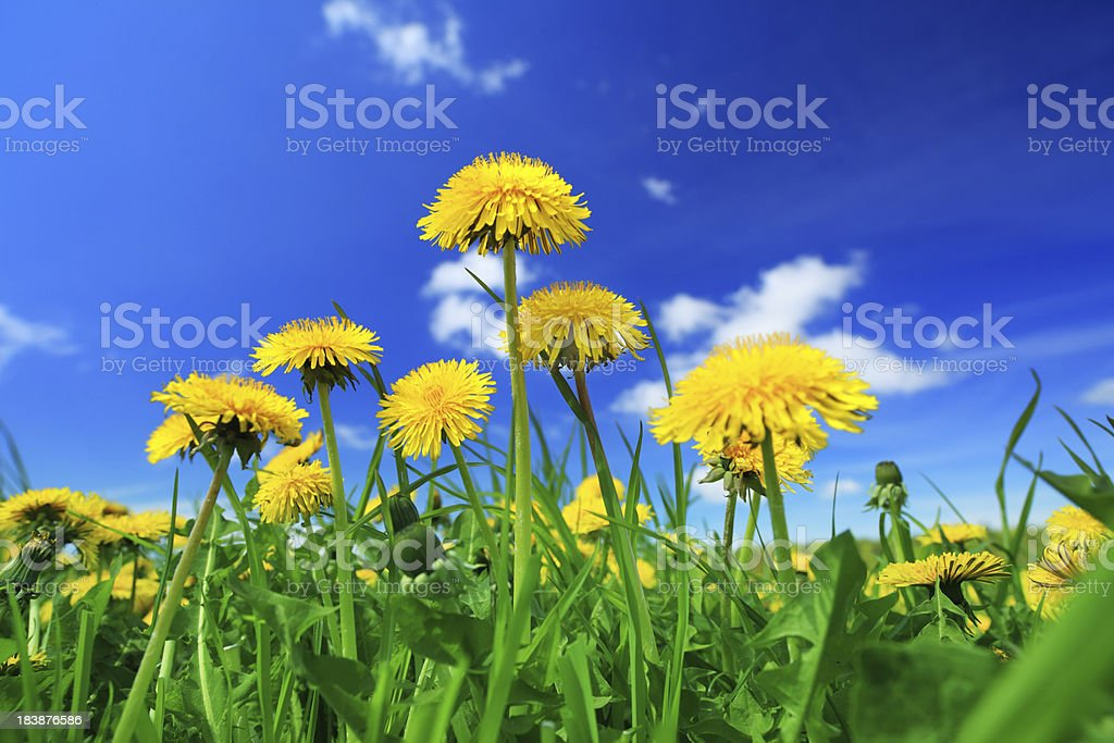 Yellow dandelion flowers - spring meadow stock photo
