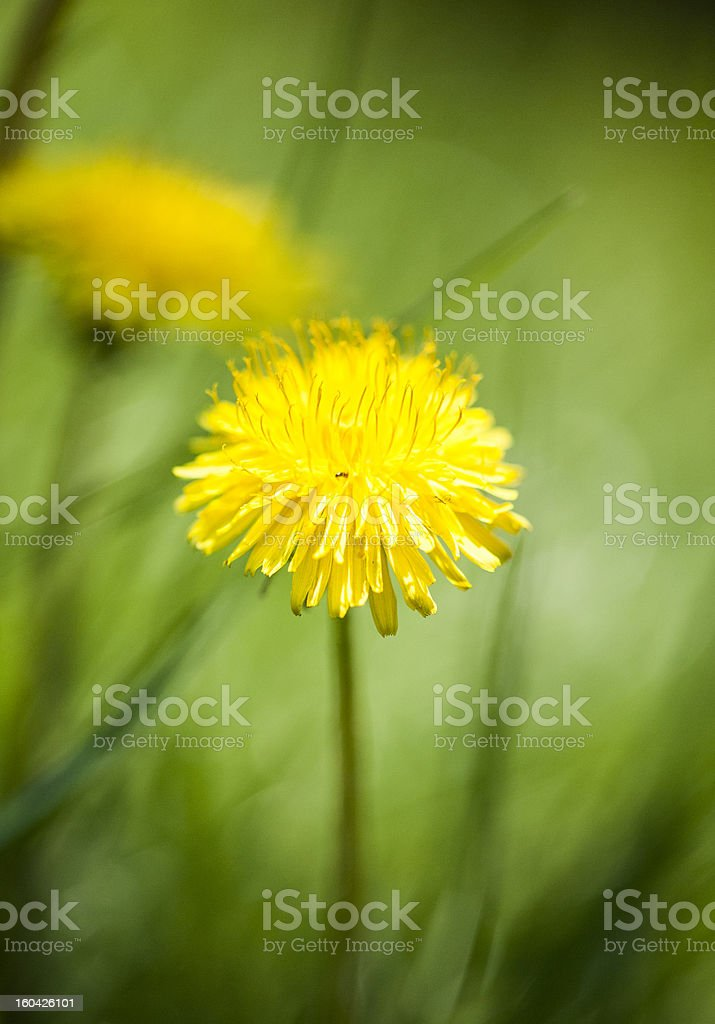 Yellow dandelion royalty-free stock photo