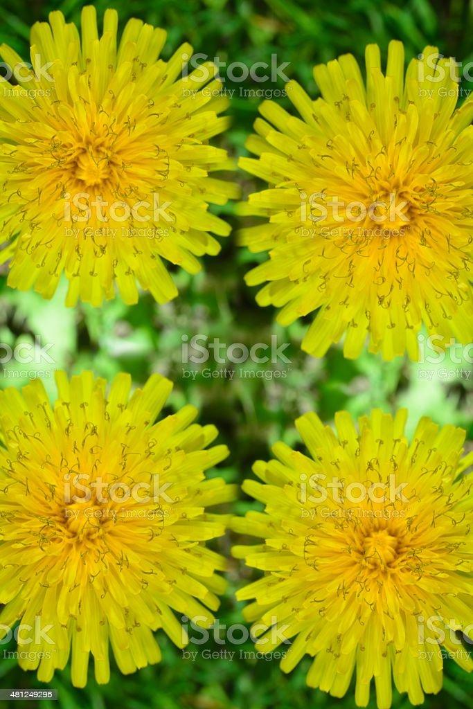 yellow dandelion stock photo
